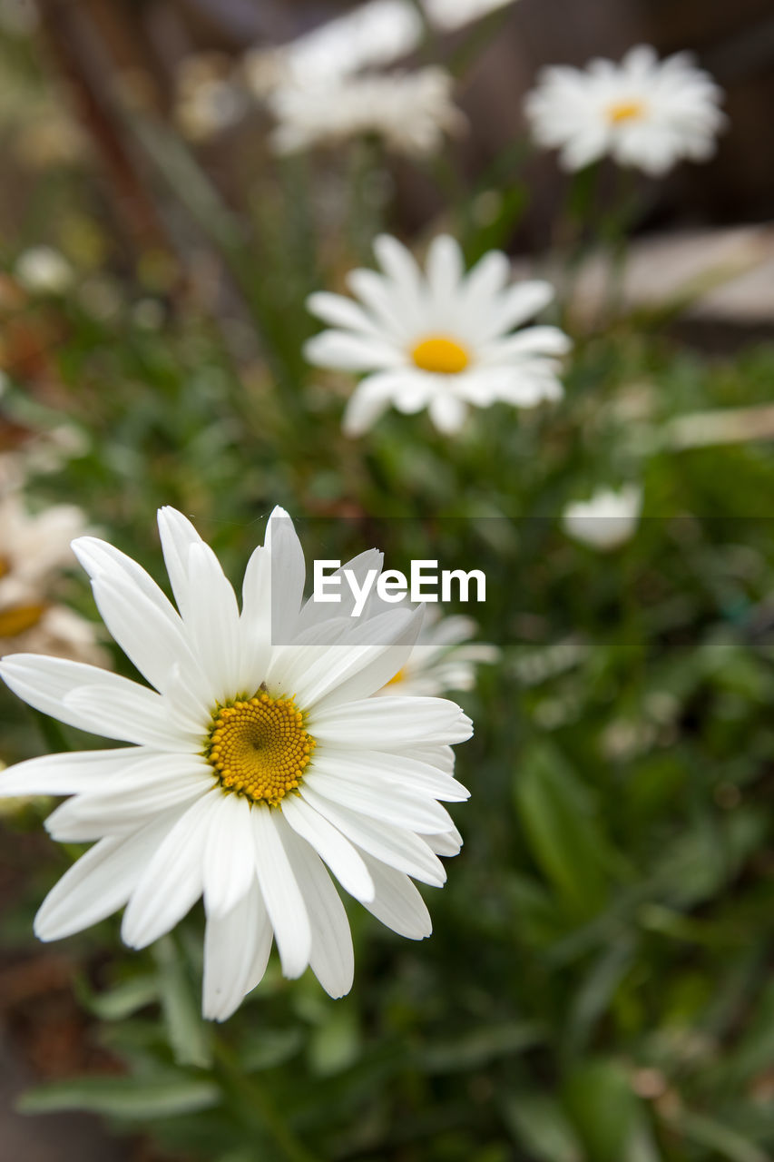 flowering plant, flower, fragility, vulnerability, freshness, plant, petal, white color, beauty in nature, growth, flower head, inflorescence, close-up, daisy, pollen, focus on foreground, nature, yellow, day, no people, outdoors