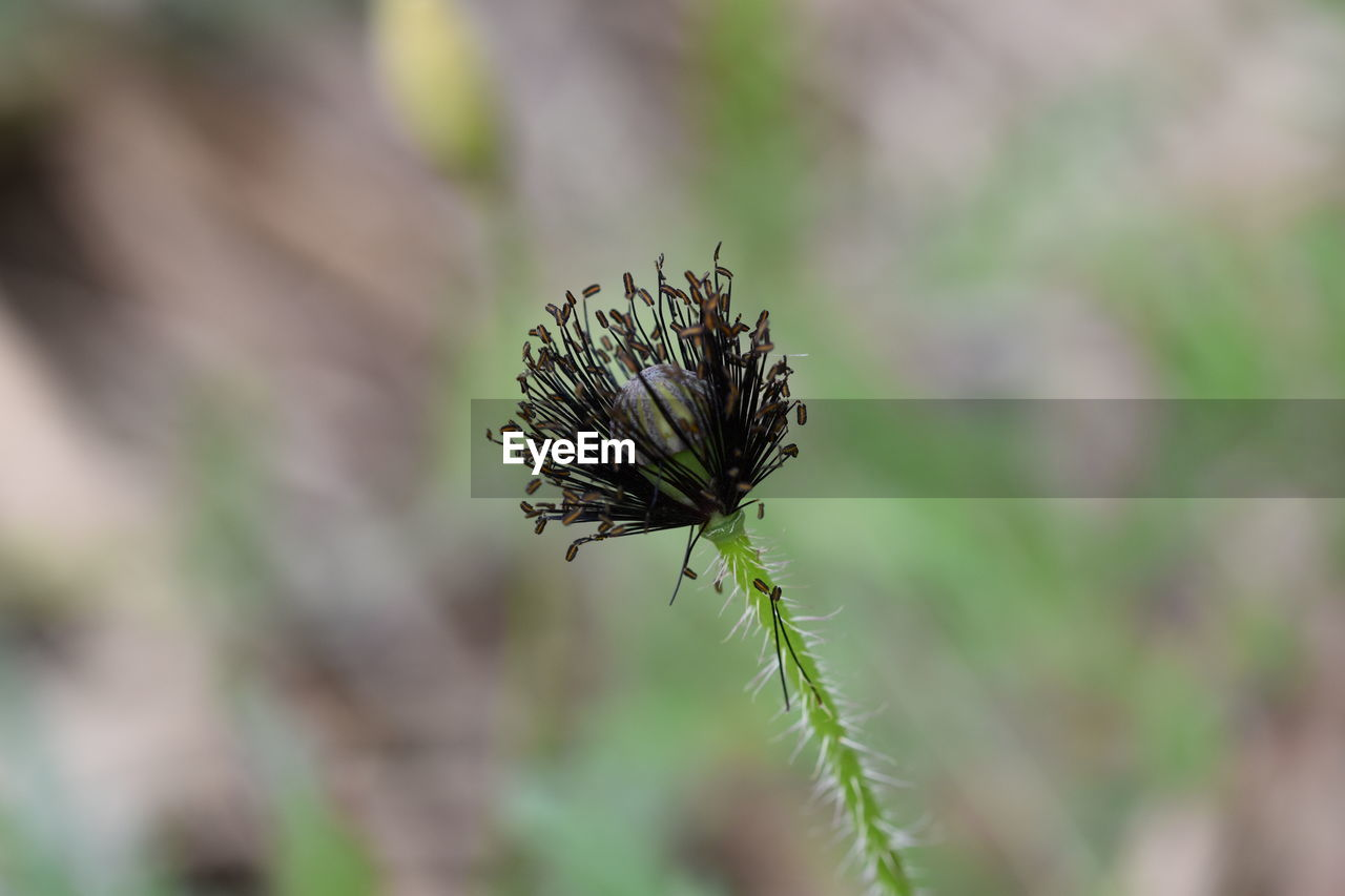 plant, close-up, flower, growth, beauty in nature, focus on foreground, flowering plant, no people, day, selective focus, fragility, nature, vulnerability, plant stem, outdoors, green color, freshness, tranquility, beginnings, bud, flower head, wilted plant, sepal