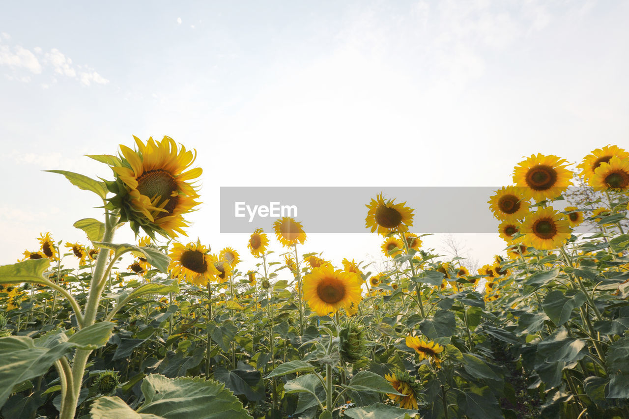 yellow, flower, plant, growth, flowering plant, sky, fragility, vulnerability, freshness, beauty in nature, flower head, petal, inflorescence, sunflower, nature, close-up, field, no people, land, botany, pollen, springtime