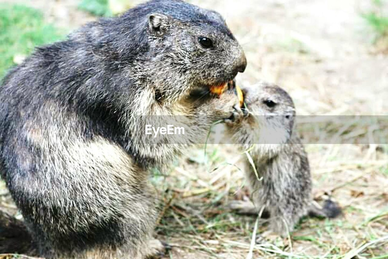 animal themes, animal, animal wildlife, group of animals, animals in the wild, two animals, mammal, vertebrate, close-up, rodent, no people, eating, togetherness, day, nature, focus on foreground, young animal, feeding, cute, outdoors, aggression, animal family