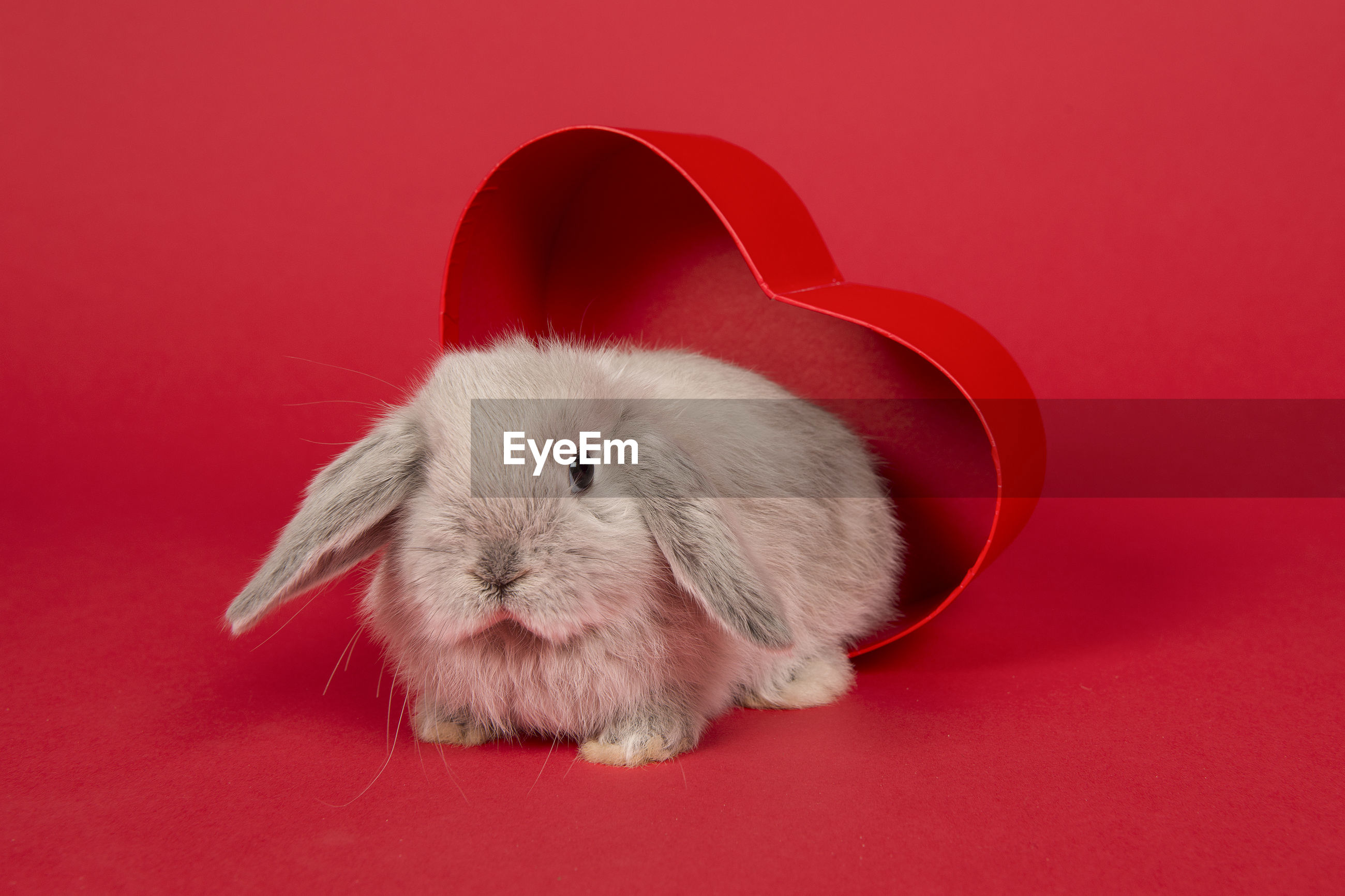 Cute young grey rabbit in a heart shaped box at a red background
