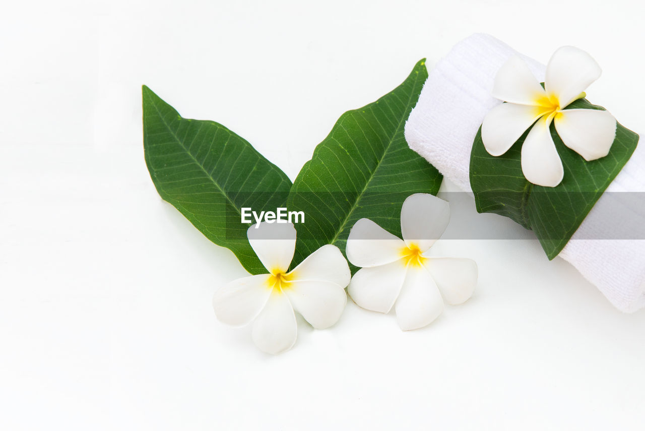 CLOSE-UP OF WHITE FLOWERING PLANT WITH GRAY BACKGROUND