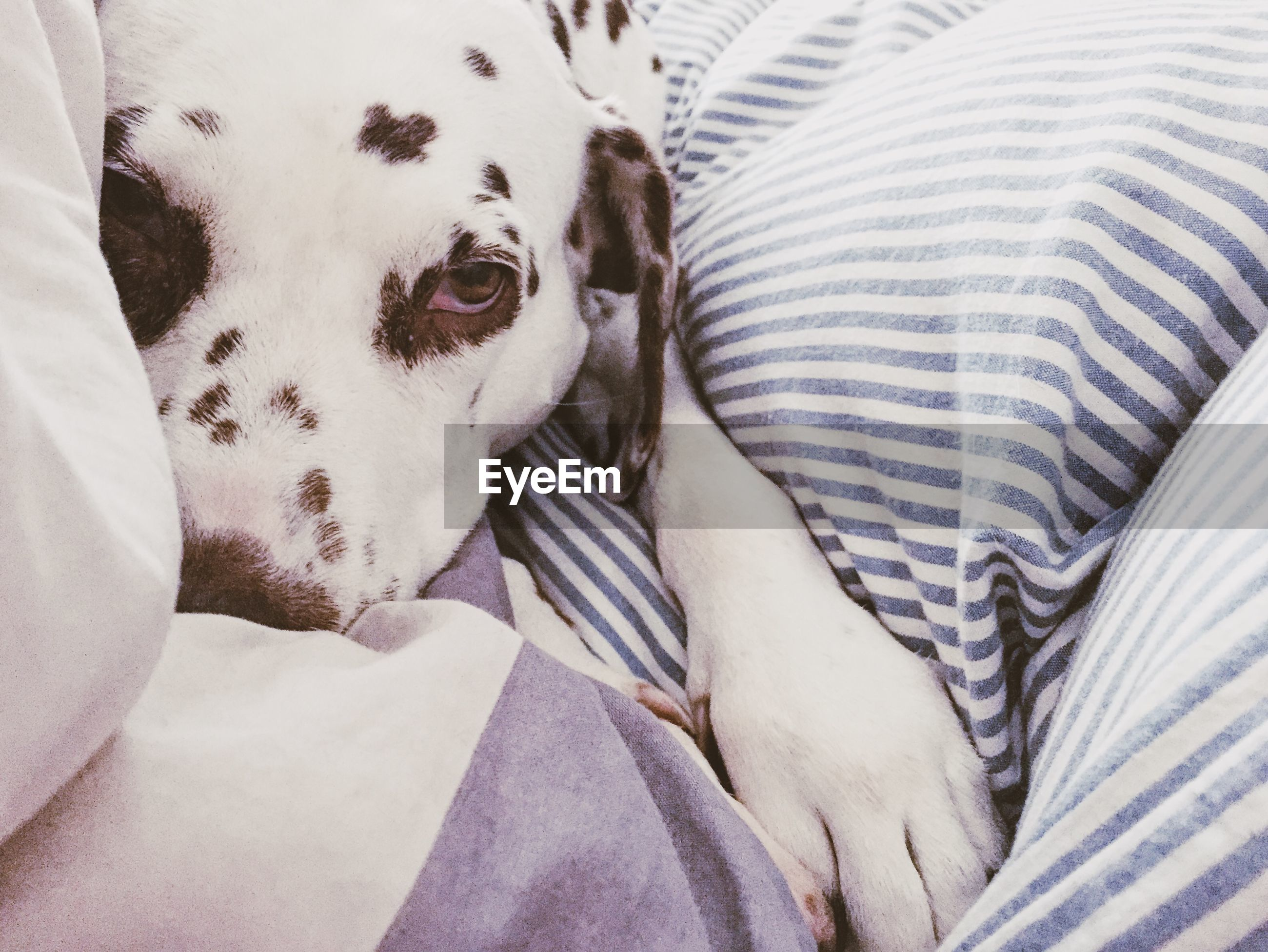 Close-up of dalmatian resting on bed