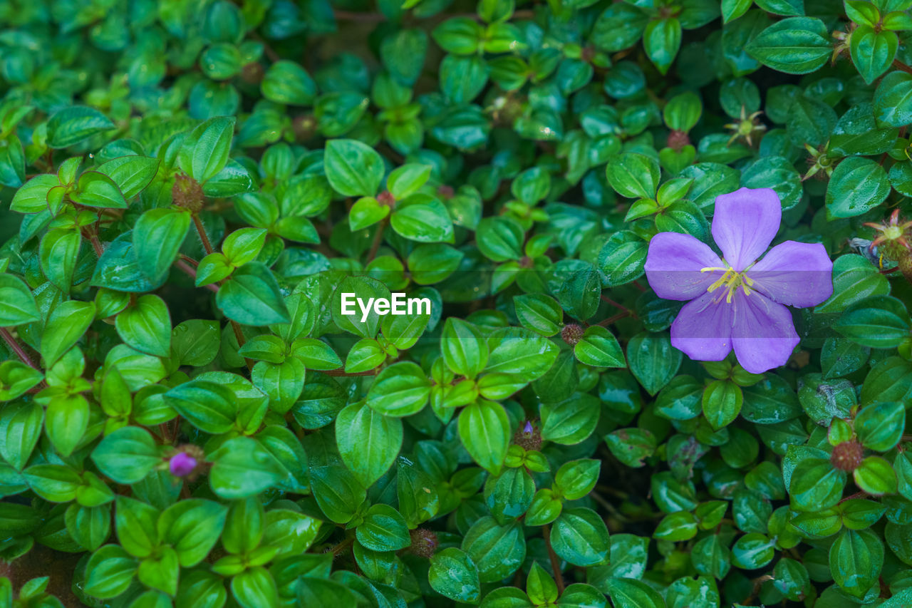 High angle view of purple flowering plants