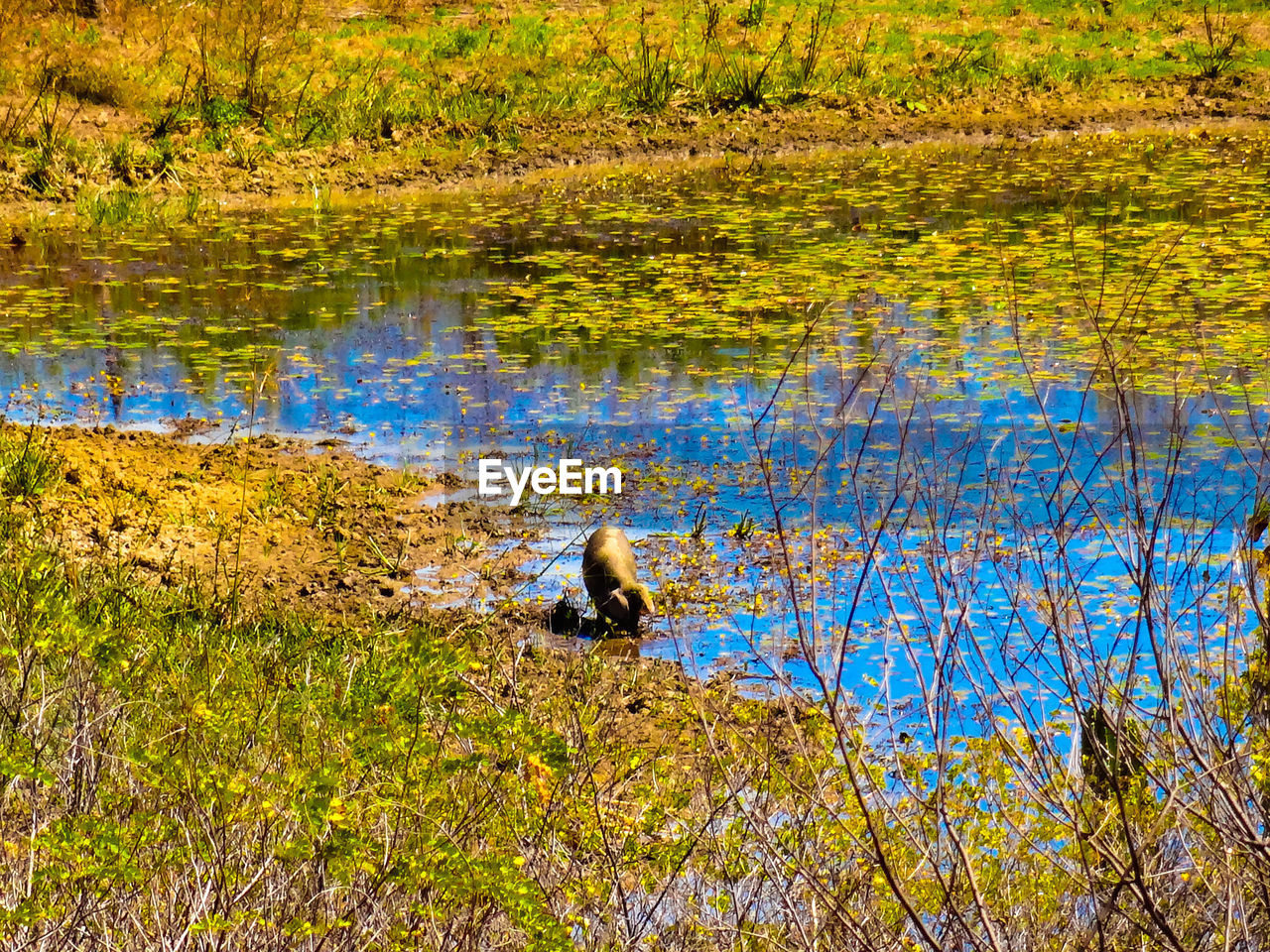 lake, animal themes, one animal, animals in the wild, nature, water, reflection, animal wildlife, day, water bird, tree, bird, grass, outdoors, growth, no people, plant, swimming, beauty in nature, black swan