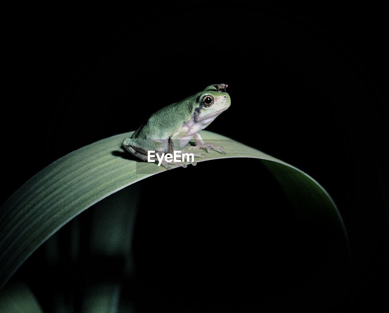 Close-Up Of Frog On Leaf At Night