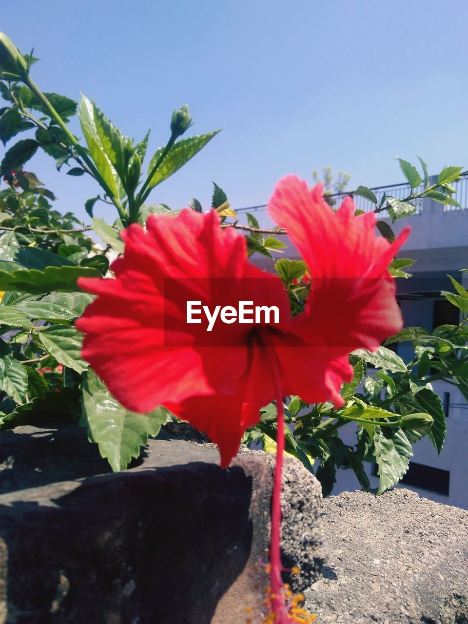 flower, red, beauty in nature, plant, nature, petal, growth, fragility, no people, freshness, day, hibiscus, outdoors, flower head, blooming, close-up