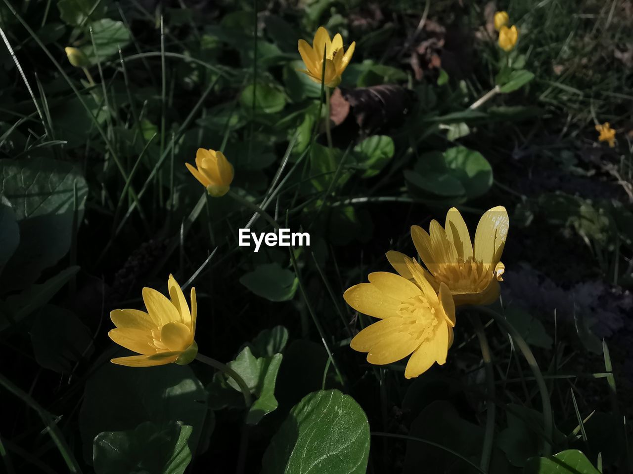 yellow, flowering plant, flower, plant, beauty in nature, vulnerability, petal, fragility, growth, freshness, flower head, inflorescence, close-up, nature, day, plant part, leaf, land, field, no people, outdoors, pollen, gazania