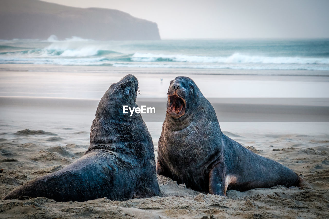 Sea lions on the beach, south of dunedin, new zealand