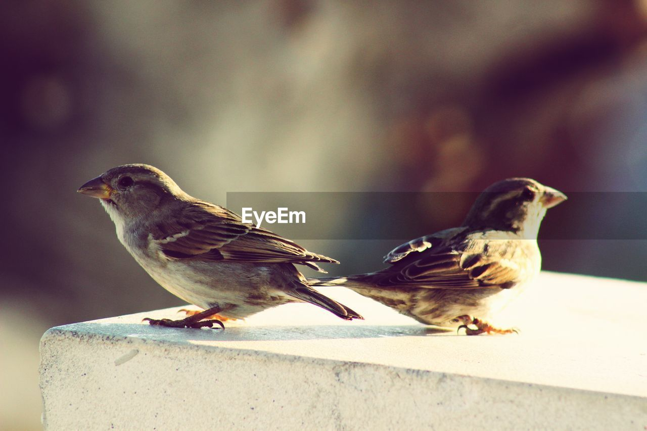 bird, animal, animal themes, vertebrate, animal wildlife, group of animals, sparrow, animals in the wild, perching, focus on foreground, day, two animals, close-up, nature, no people, outdoors, side view, wall, selective focus, togetherness, mouth open