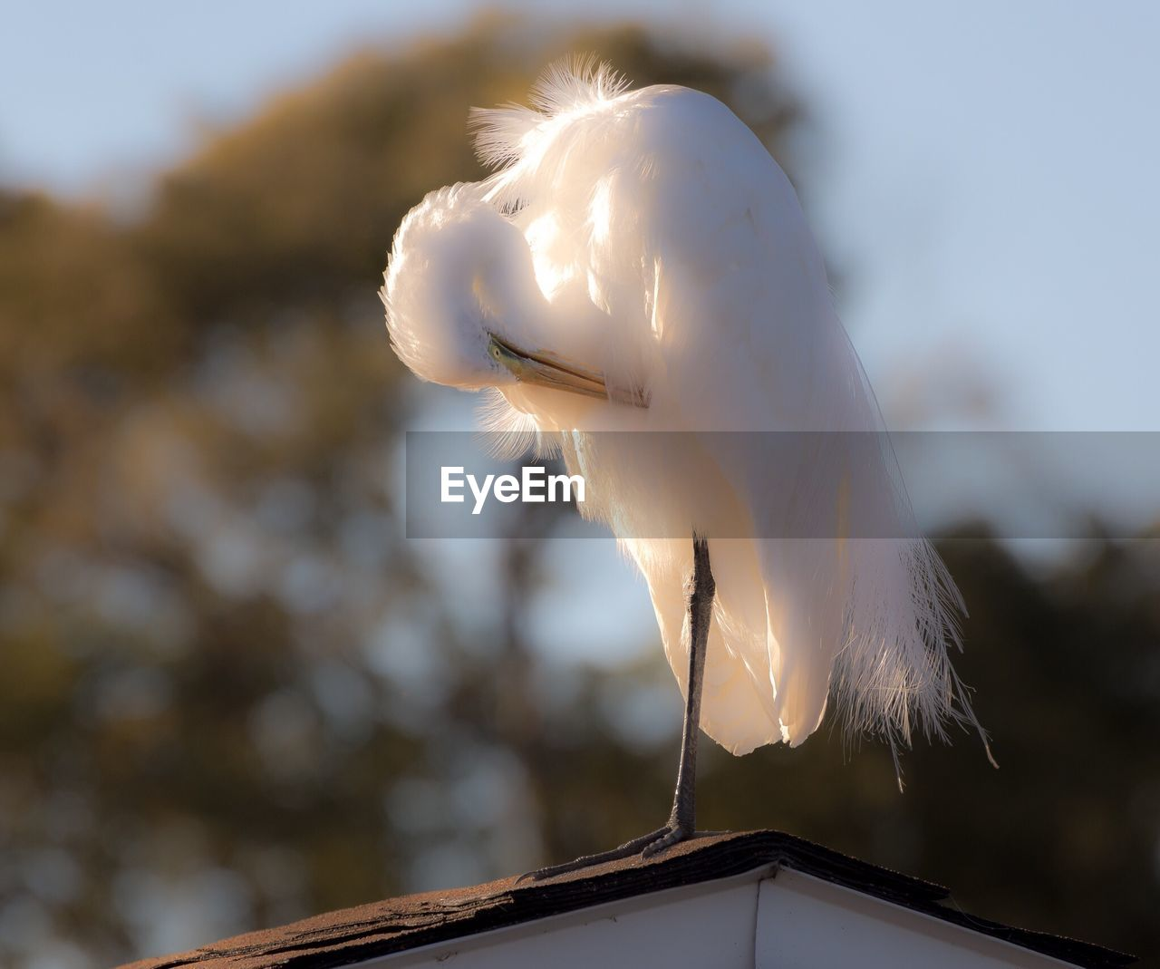 bird, no people, animals in the wild, focus on foreground, animal wildlife, animal themes, one animal, vertebrate, animal, day, white color, low angle view, nature, sky, egret, close-up, sunlight, roof, feather, outdoors