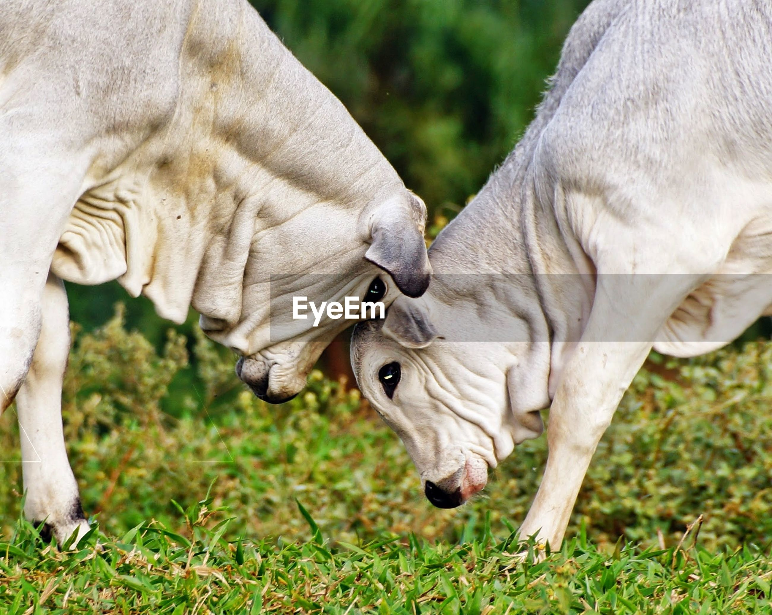 Side view of cows fighting on field