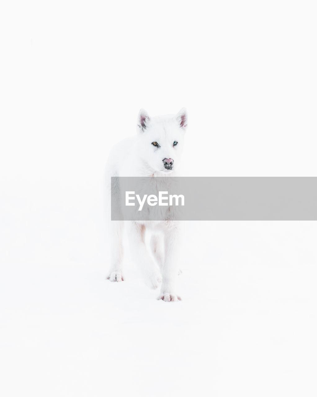 Dog against white background