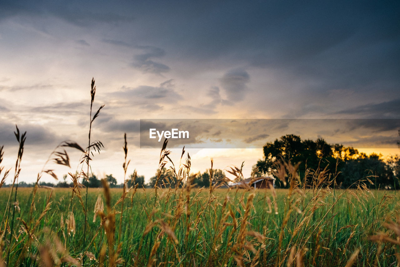 sky, field, plant, cloud - sky, beauty in nature, land, tranquility, scenics - nature, tranquil scene, growth, sunset, landscape, environment, rural scene, no people, nature, agriculture, grass, farm, crop, outdoors, timothy grass