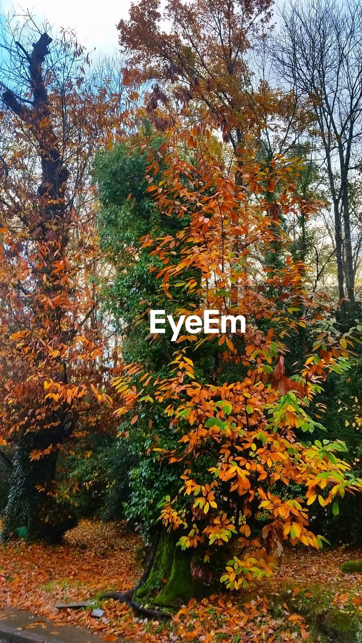 tree, autumn, nature, change, growth, leaf, forest, tranquility, day, outdoors, beauty in nature, tranquil scene, no people, branch, plant, scenics, sky