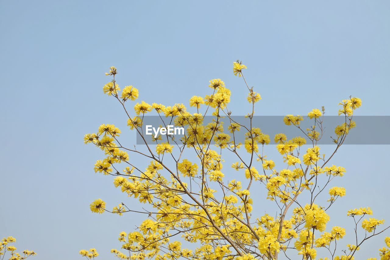 flower, nature, growth, blossom, beauty in nature, low angle view, freshness, yellow, clear sky, no people, fragility, springtime, tree, branch, outdoors, day, sky, flower head