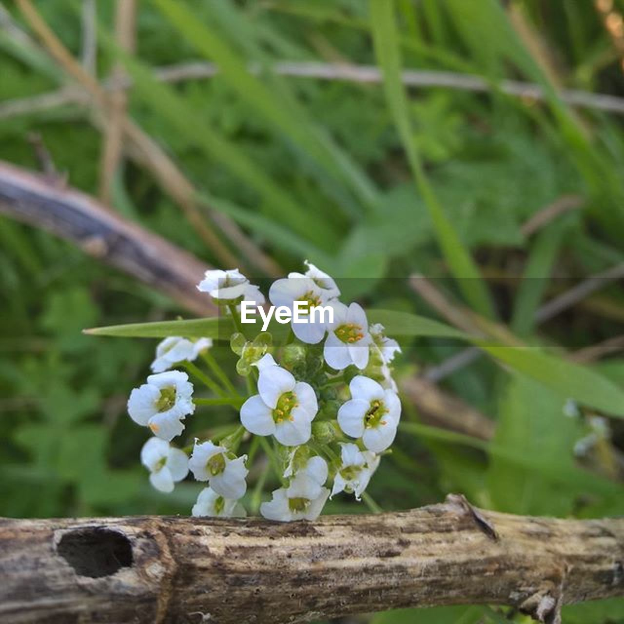 flower, nature, fragility, growth, plant, beauty in nature, petal, day, white color, freshness, flower head, close-up, no people, outdoors, focus on foreground, one animal, blooming, animal themes