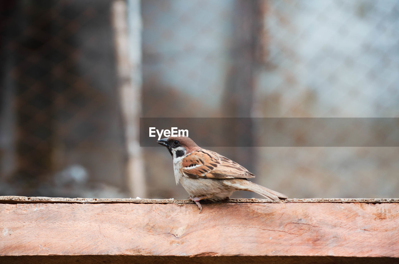 animal, vertebrate, animal themes, animals in the wild, bird, one animal, animal wildlife, perching, focus on foreground, sparrow, day, no people, wall, outdoors, close-up, wall - building feature, full length, wood - material, selective focus, retaining wall