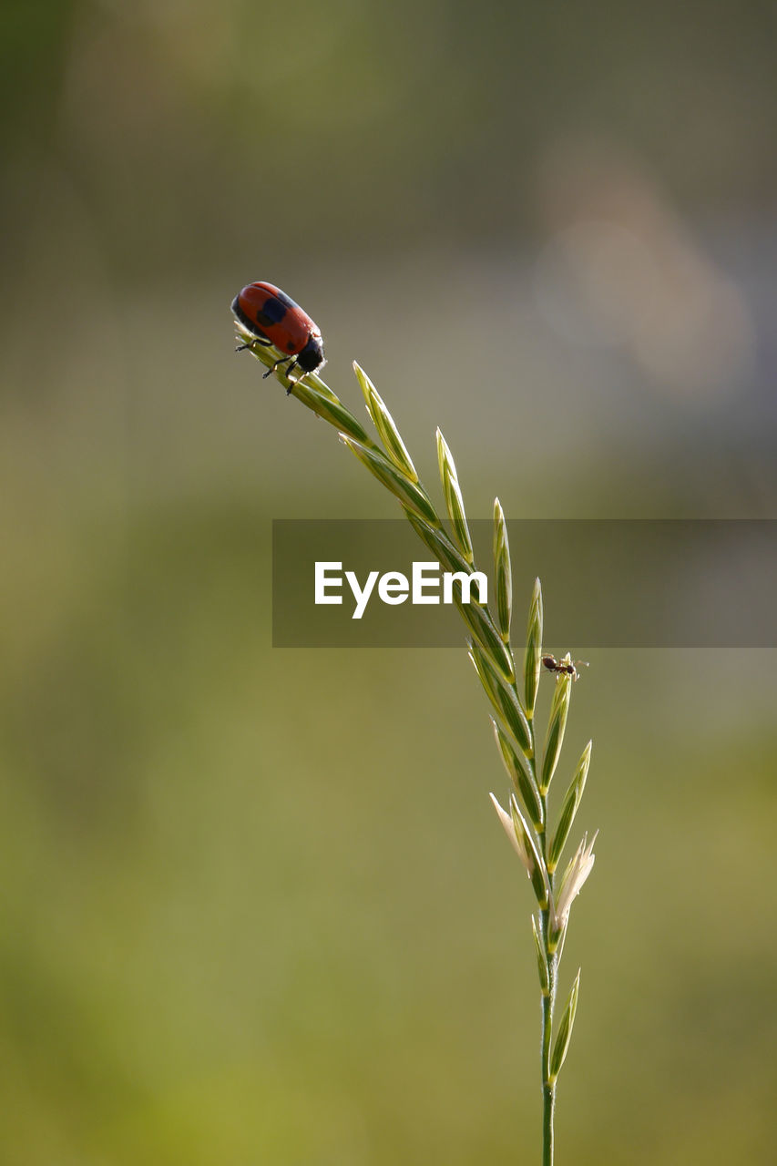 ladybug, insect, nature, plant, close-up, focus on foreground, outdoors, leaf, animals in the wild, no people, day, tiny, one animal, red, growth, animal themes, fragility, beauty in nature