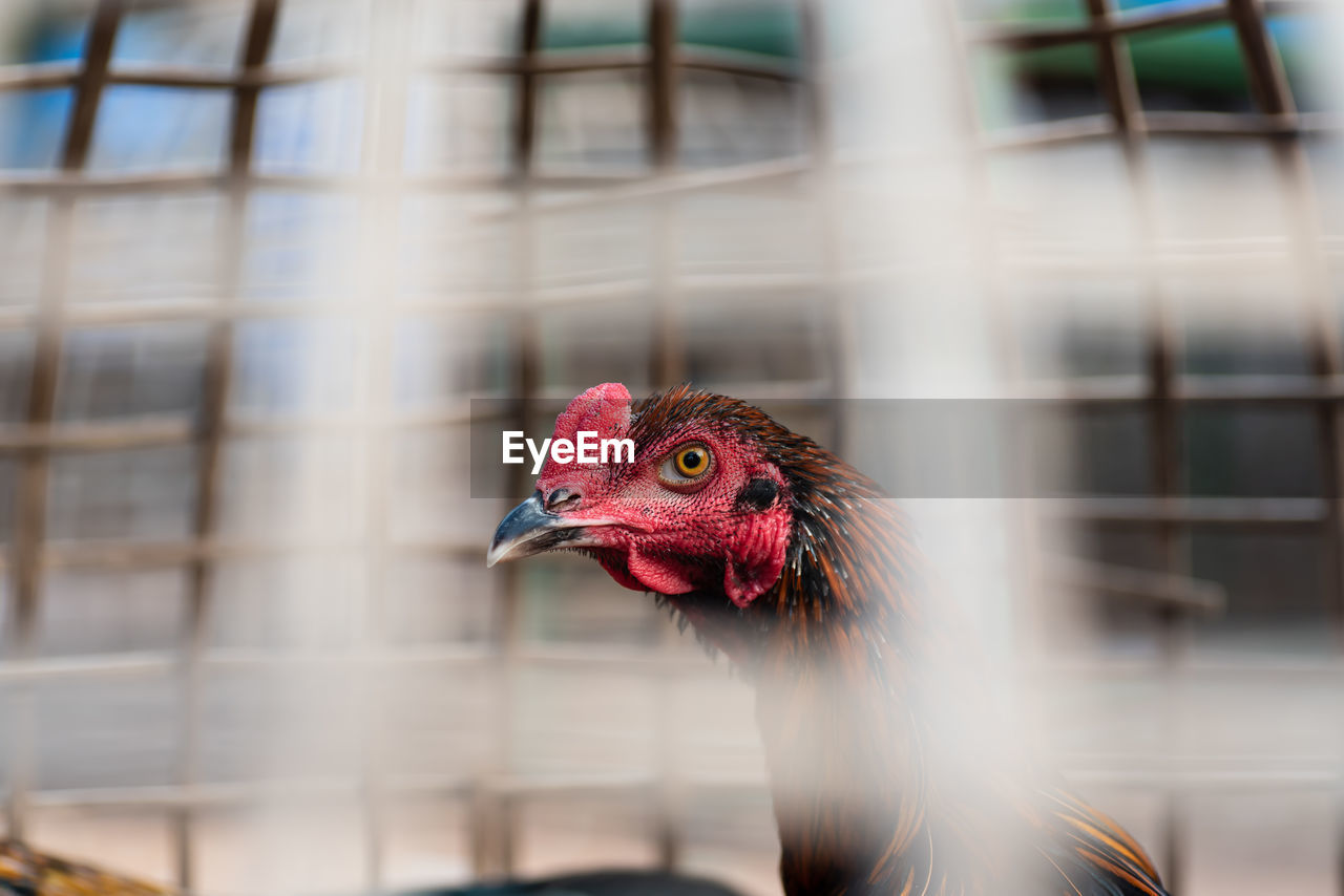 Close-Up Of Hen In Cage