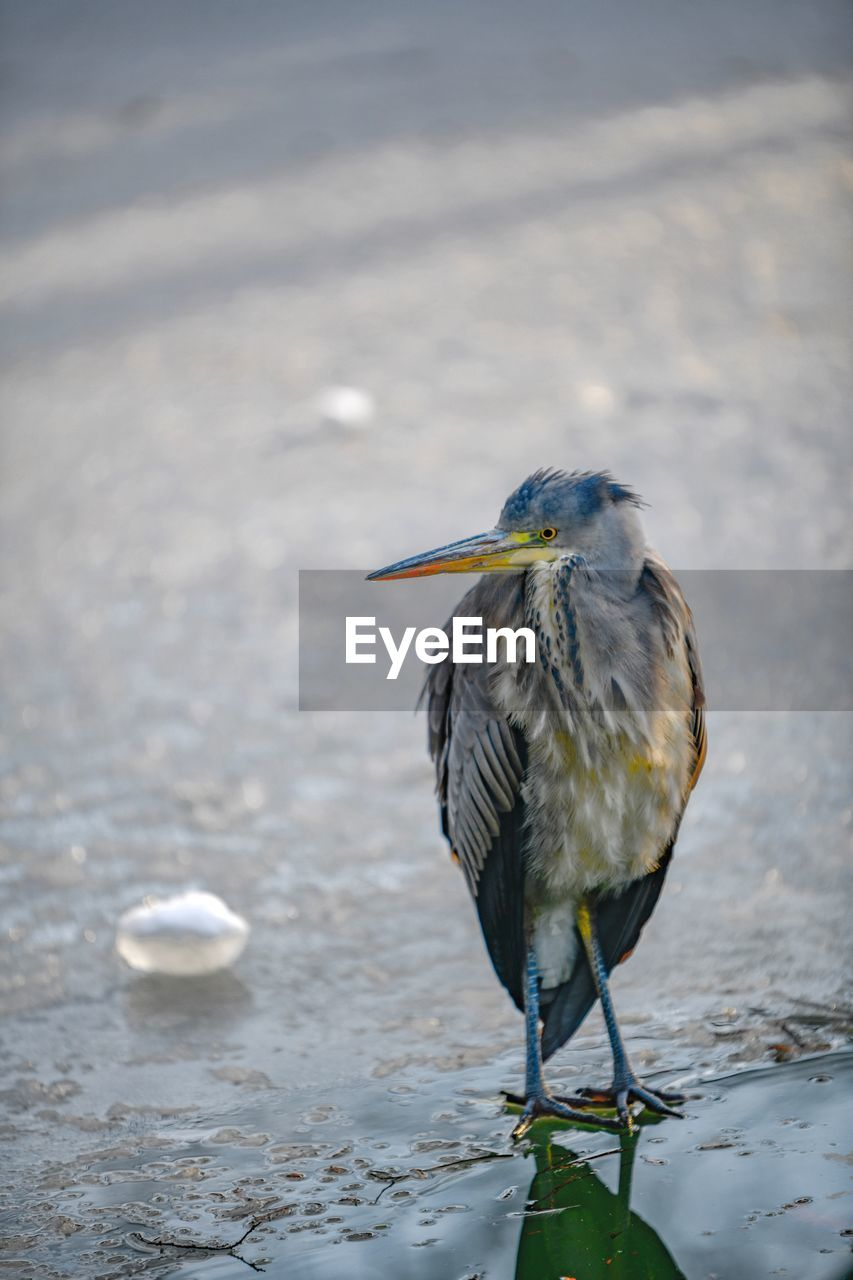 bird, animal, animals in the wild, vertebrate, animal themes, animal wildlife, one animal, focus on foreground, water, perching, day, no people, nature, outdoors, beauty in nature, heron, looking, full length, close-up, beak