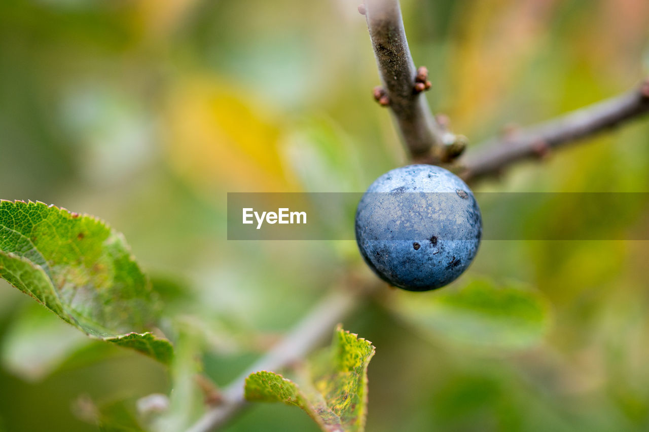 growth, plant, close-up, fruit, no people, healthy eating, food, nature, food and drink, tree, focus on foreground, plant part, leaf, day, green color, berry fruit, selective focus, freshness, beauty in nature, branch, outdoors, ripe