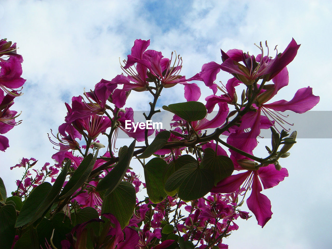 flowering plant, flower, plant, sky, freshness, growth, fragility, vulnerability, beauty in nature, cloud - sky, nature, petal, low angle view, pink color, day, close-up, flower head, plant part, inflorescence, no people, outdoors, springtime, purple, cherry blossom