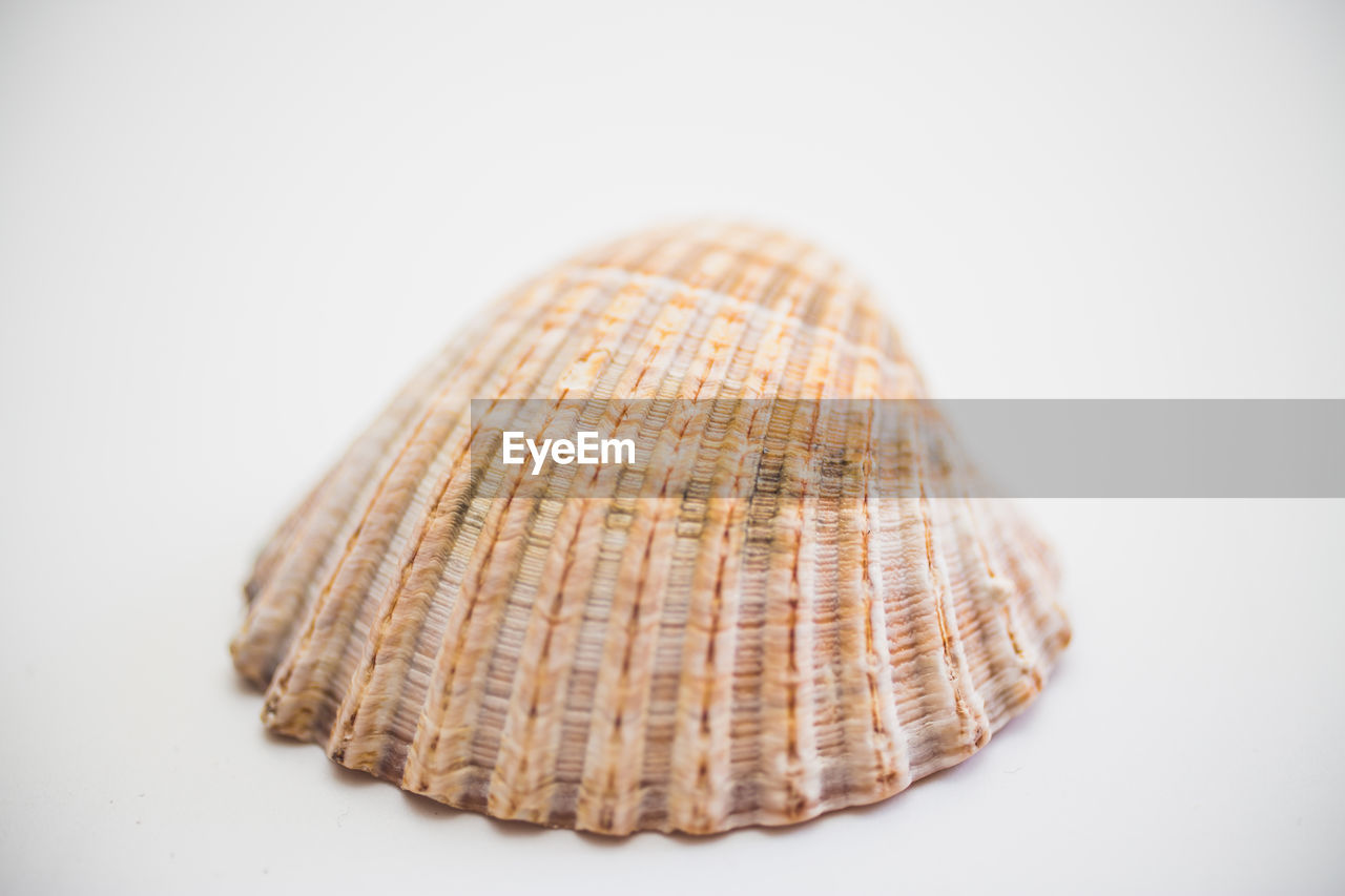 white background, studio shot, close-up, indoors, still life, copy space, no people, cut out, food and drink, shell, freshness, food, single object, pattern, seashell, selective focus, animal, wellbeing, natural pattern, healthy eating