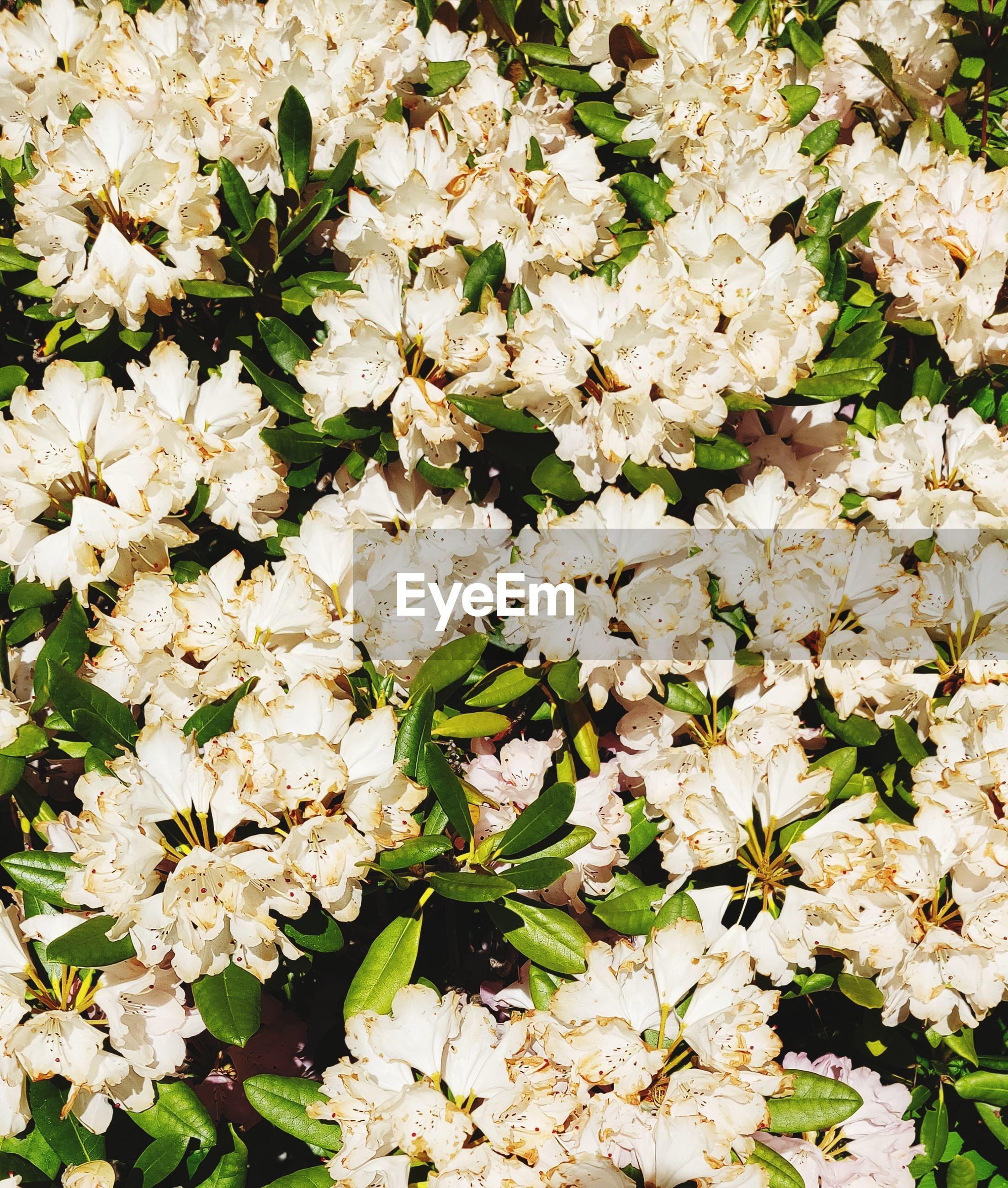 FULL FRAME SHOT OF WHITE FLOWERING PLANT
