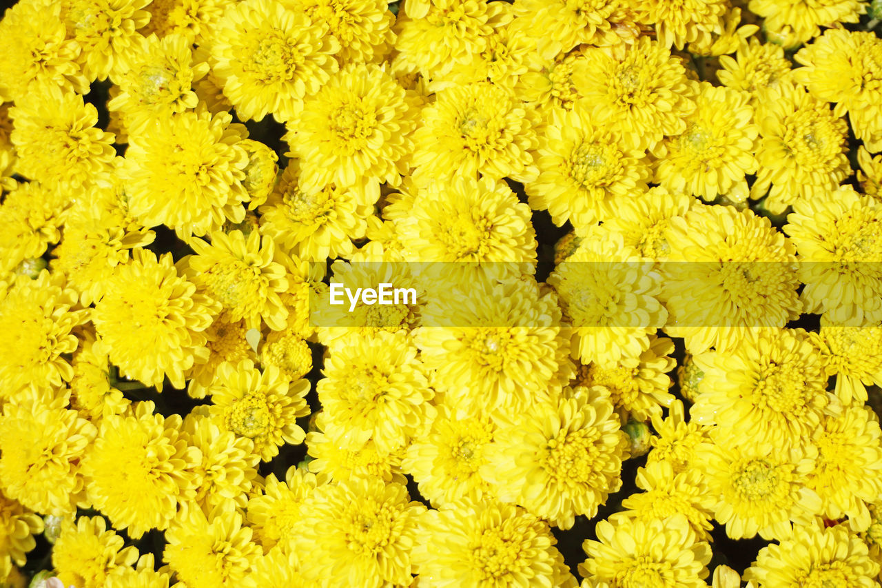 yellow, full frame, backgrounds, flowering plant, close-up, vulnerability, fragility, flower, freshness, abundance, flower head, no people, plant, nature, beauty in nature, inflorescence, day, large group of objects, outdoors, pattern