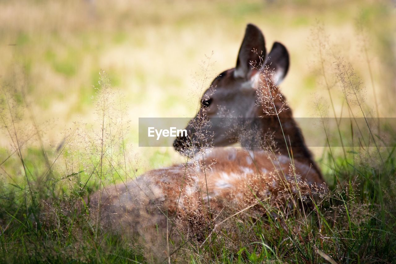 Close-up of deer relaxing on field