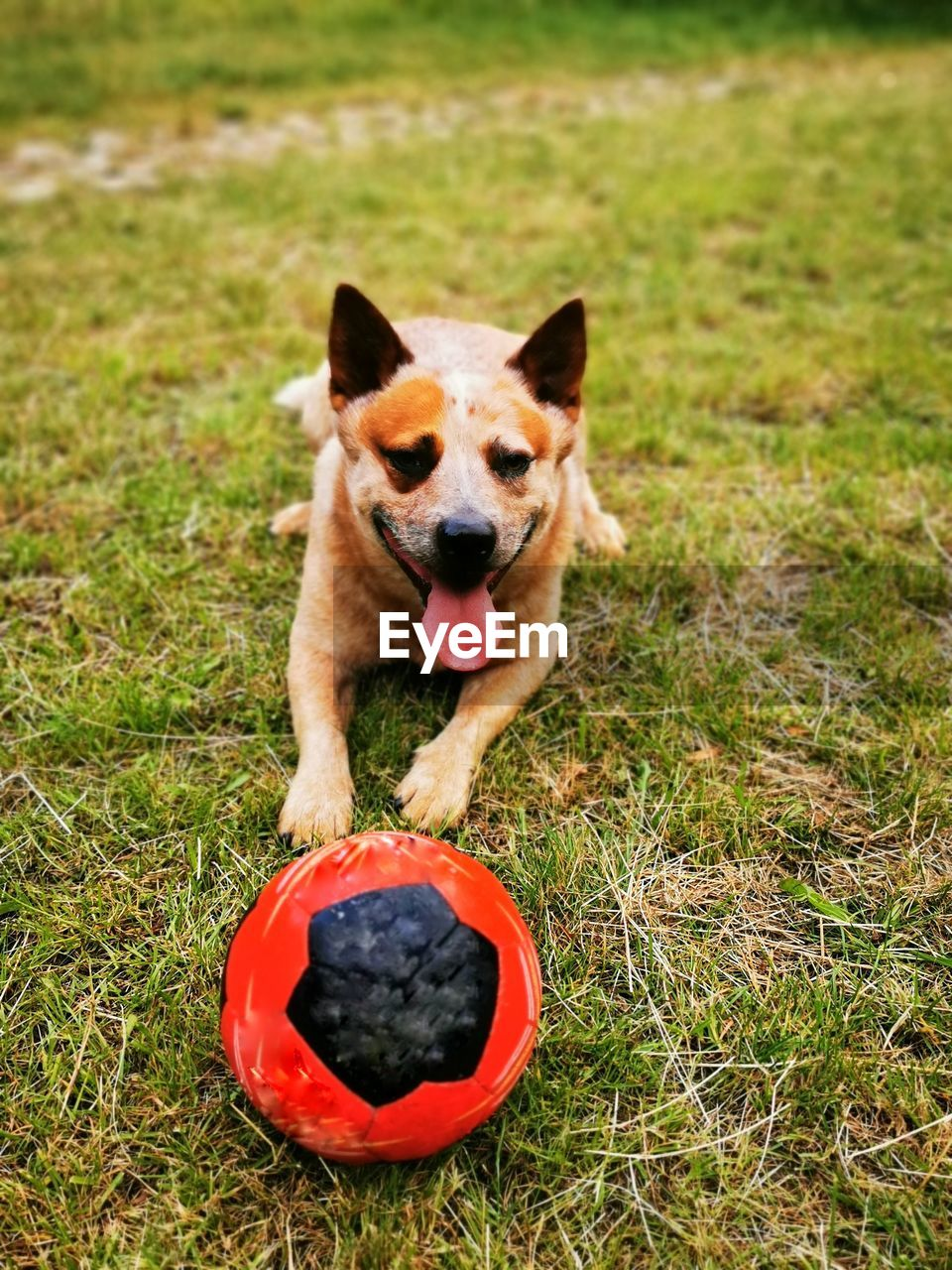 PORTRAIT OF DOG WITH BALL IN MOUTH