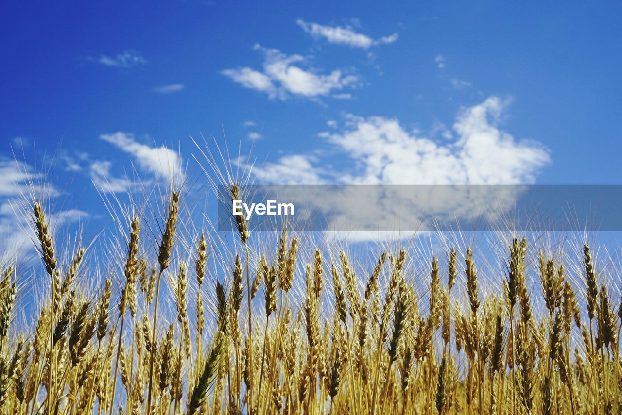growth, nature, agriculture, field, sky, farm, tranquility, crop, plant, beauty in nature, no people, day, blue, tranquil scene, rural scene, scenics, outdoors, cereal plant, close-up
