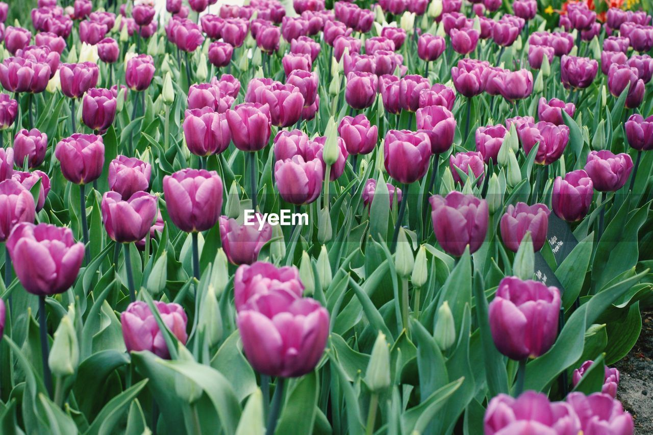 flower, flowering plant, plant, beauty in nature, freshness, pink color, vulnerability, growth, tulip, fragility, close-up, petal, full frame, flower head, land, backgrounds, green color, field, no people, inflorescence, outdoors, springtime, flowerbed, purple, softness, gardening