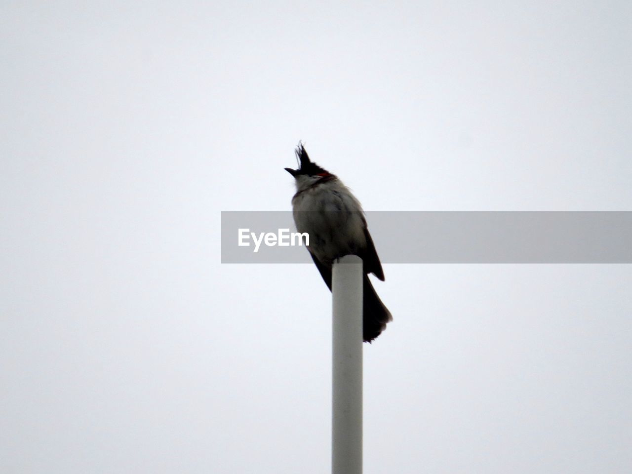 vertebrate, one animal, bird, animals in the wild, animal wildlife, clear sky, no people, sky, perching, low angle view, copy space, nature, day, full length, outdoors, mammal, pole