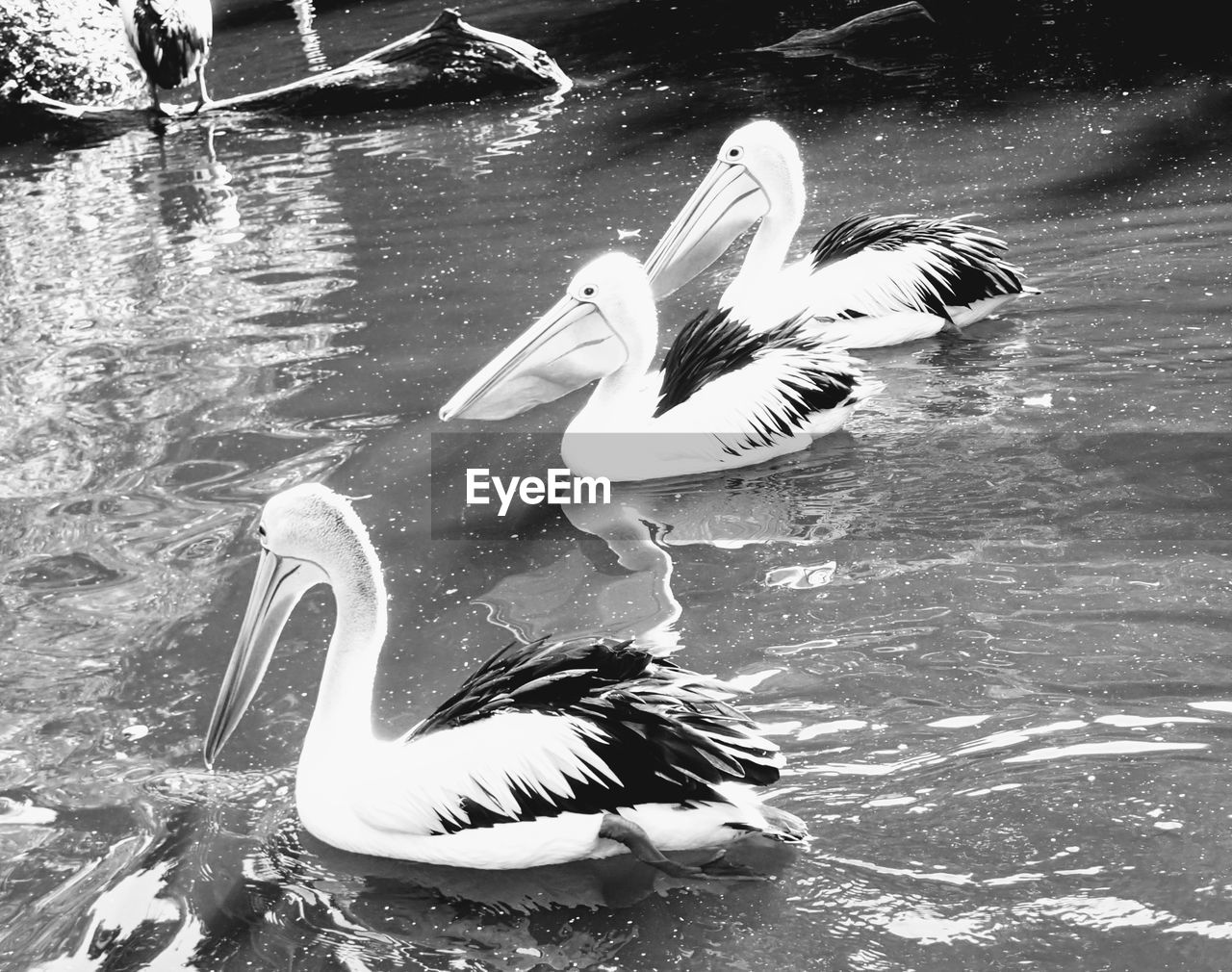animal wildlife, bird, animals in the wild, water, animal themes, animal, vertebrate, group of animals, lake, swimming, pelican, nature, waterfront, high angle view, no people, water bird, two animals, swan, day, beak, duck, outdoors, floating on water, cygnet, animal family
