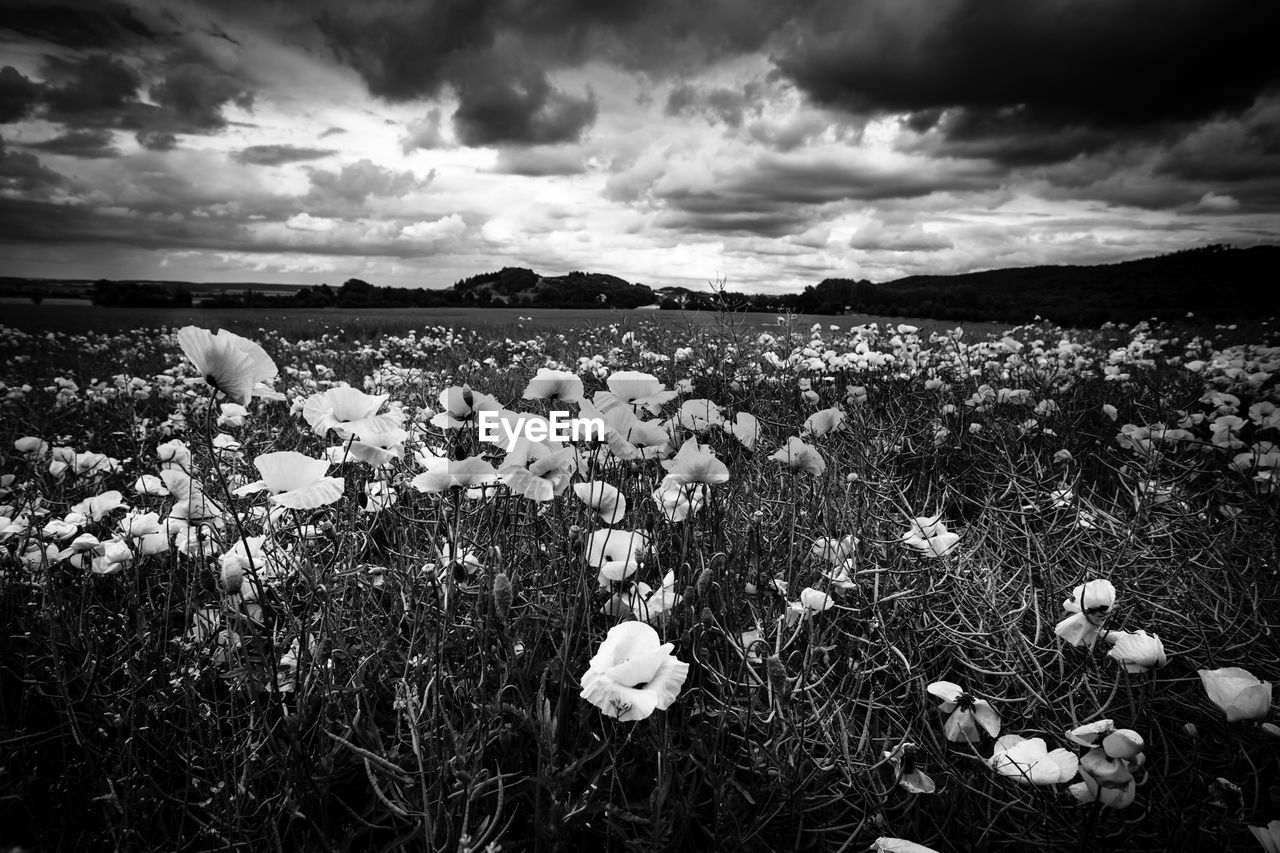 nature, growth, beauty in nature, flower, field, cloud - sky, plant, fragility, tranquility, outdoors, no people, tranquil scene, freshness, sky, landscape, uncultivated, day, poppy, scenics, grass, flower head, close-up, snowdrop, crocus