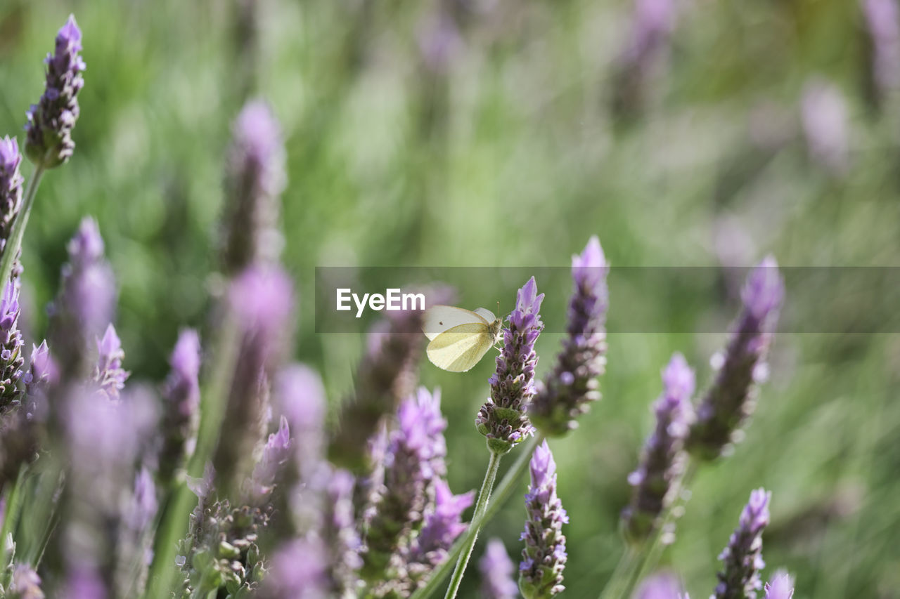 flower, flowering plant, plant, fragility, vulnerability, growth, beauty in nature, freshness, close-up, nature, selective focus, day, no people, focus on foreground, petal, flower head, field, purple, land, invertebrate, lavender, outdoors, pollination