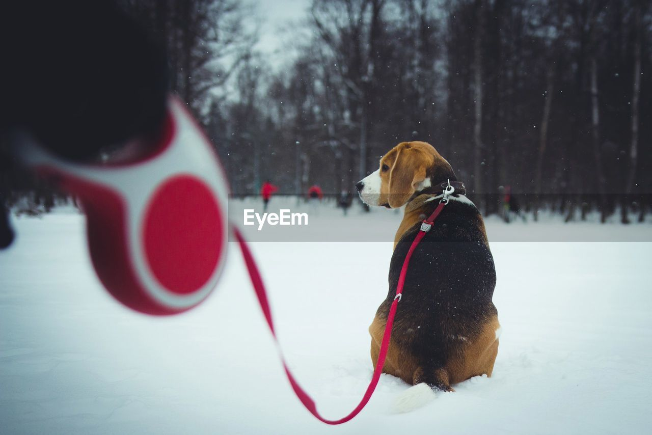 Rear view of dog with pet leash sitting on snow covered field