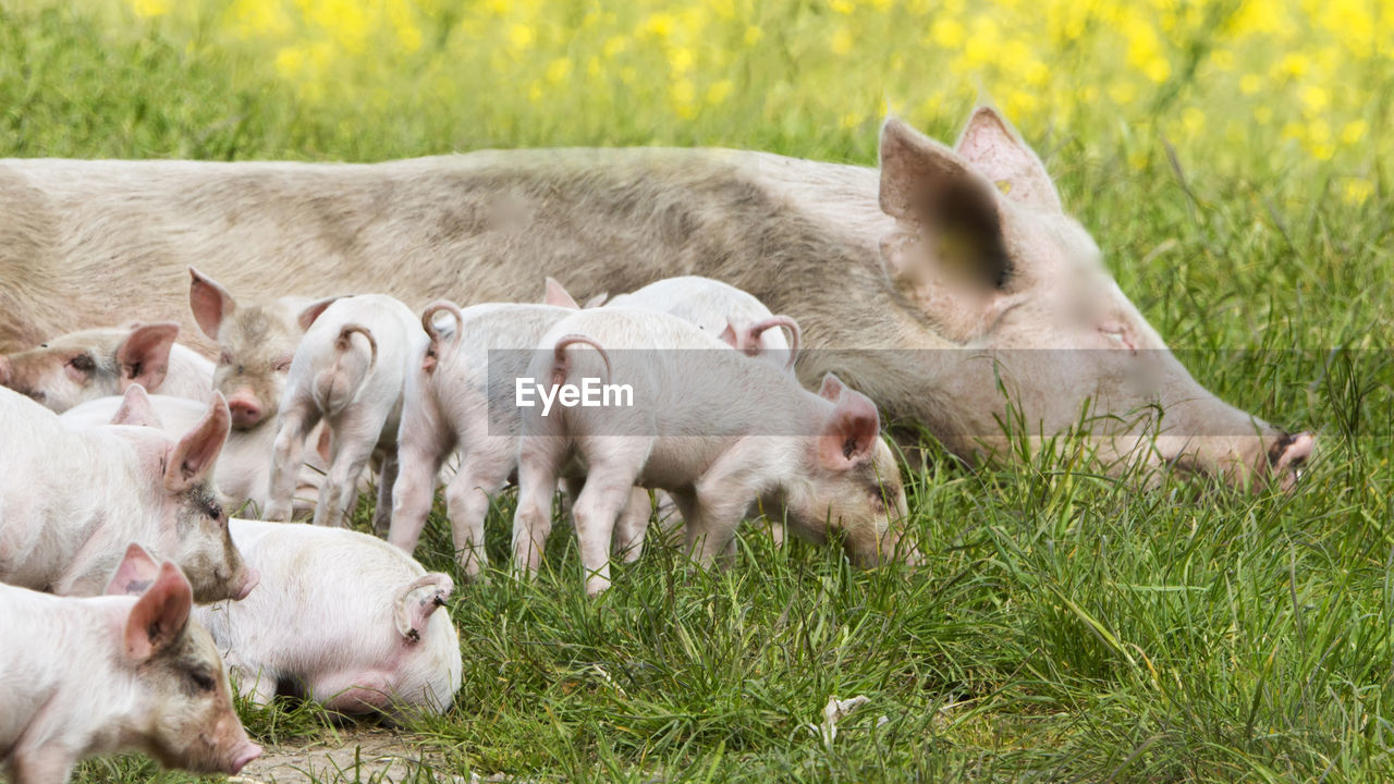 mammal, group of animals, animal, livestock, pig, piglet, animal themes, domestic animals, plant, young animal, domestic, grass, agriculture, nature, pets, large group of animals, farm, day, no people, animal wildlife, animal family, outdoors, herd, herbivorous