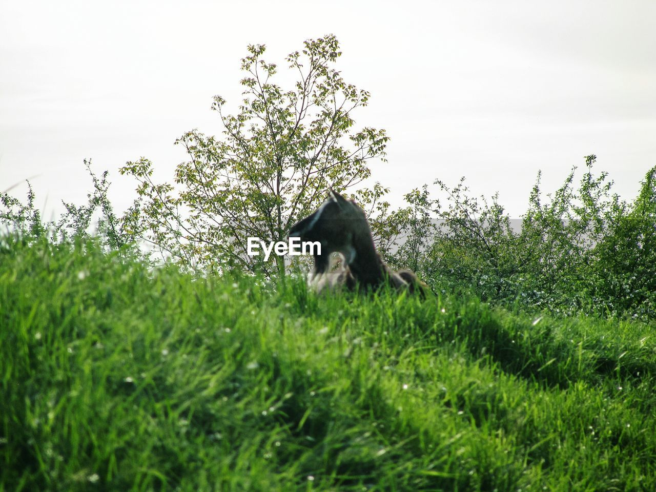 mammal, animal, plant, animal themes, one animal, grass, sky, vertebrate, nature, growth, domestic animals, animal wildlife, domestic, no people, animals in the wild, pets, green color, land, tree, field, outdoors, herbivorous