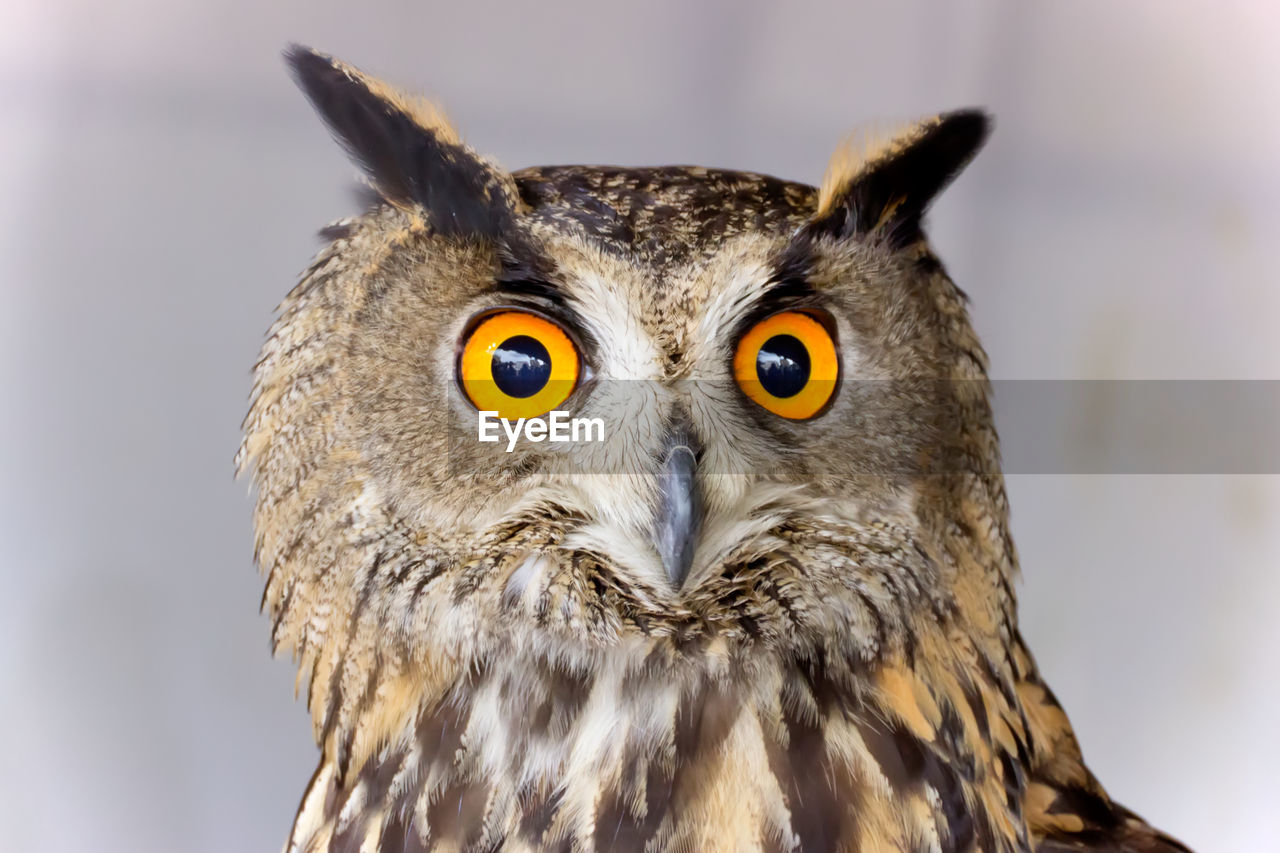 Close-Up Portrait Of Eagle Owl Against Wall