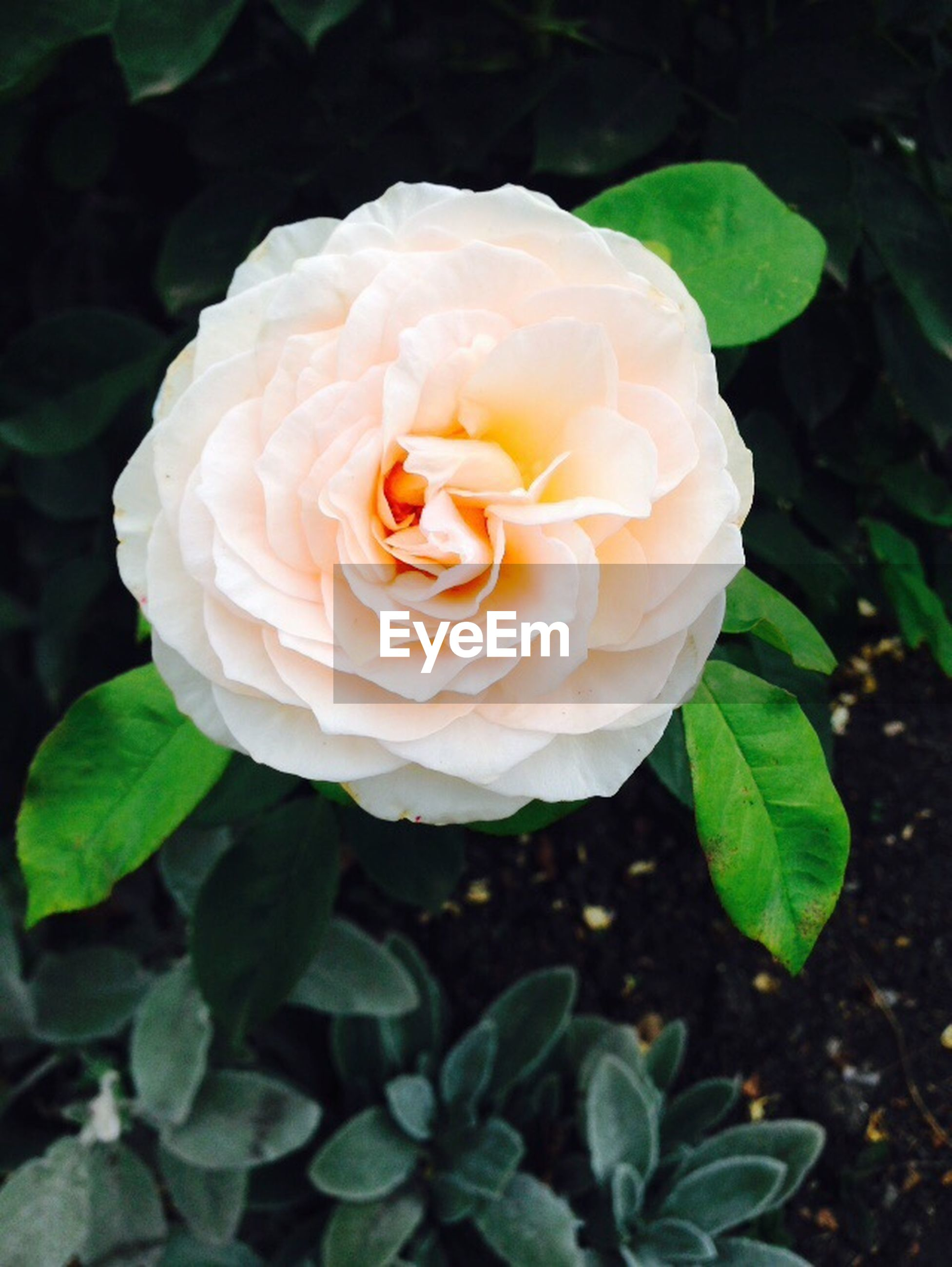 flower, petal, flower head, freshness, fragility, rose - flower, growth, beauty in nature, single flower, close-up, leaf, blooming, nature, plant, rose, in bloom, focus on foreground, high angle view, single rose, blossom