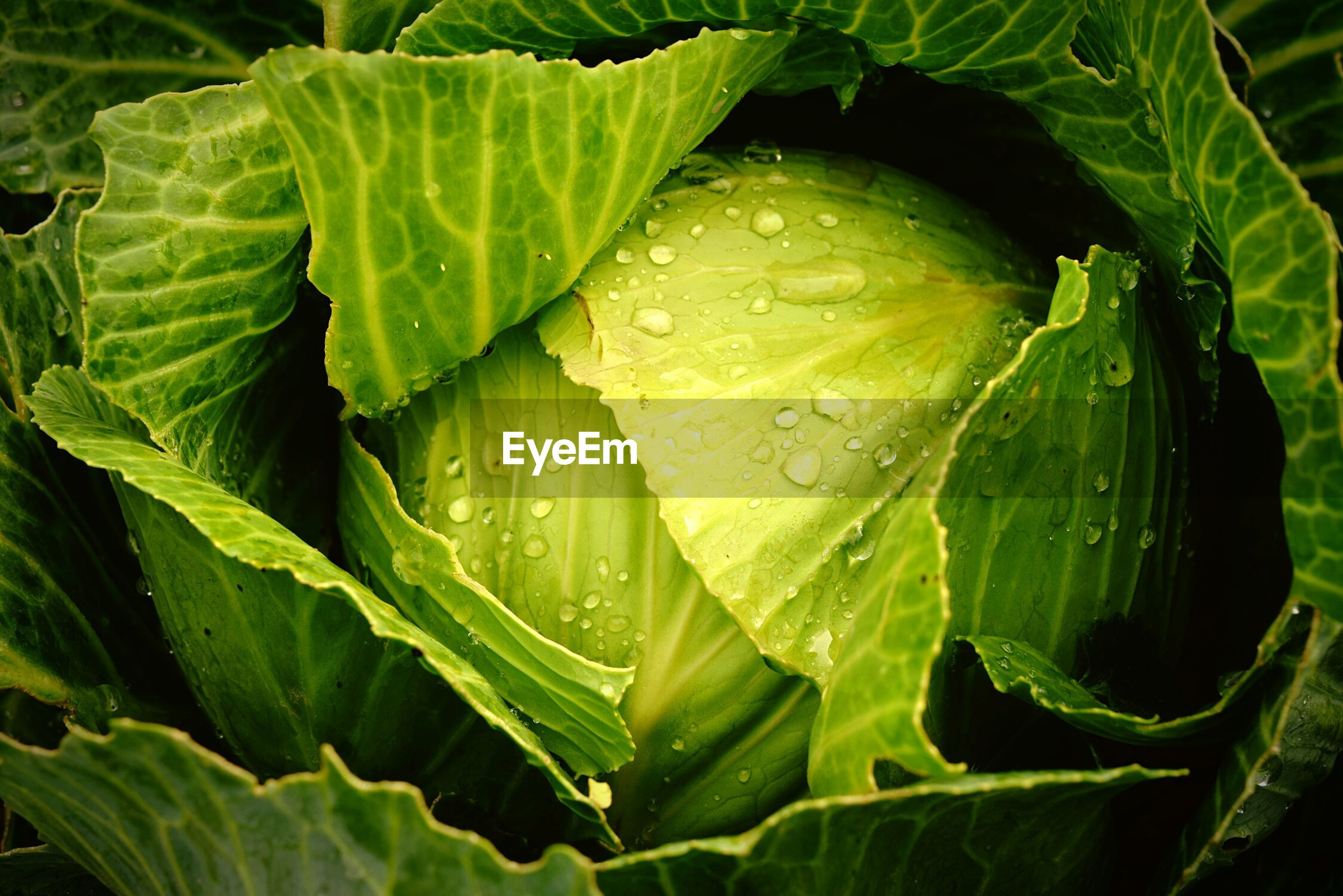 Full frame shot of fresh cabbage
