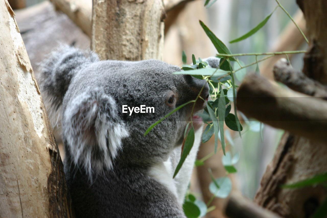 one animal, mammal, plant, tree, animal wildlife, koala, vertebrate, close-up, animals in the wild, hand, nature, day, human hand, holding, eating, leaf, people, outdoors, herbivorous