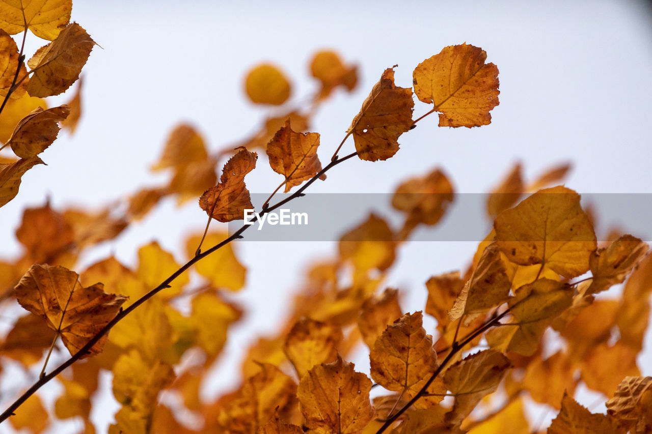 plant part, leaf, autumn, change, plant, leaves, no people, close-up, nature, beauty in nature, focus on foreground, day, tree, brown, low angle view, branch, yellow, dry, growth, outdoors, natural condition, autumn collection, fall