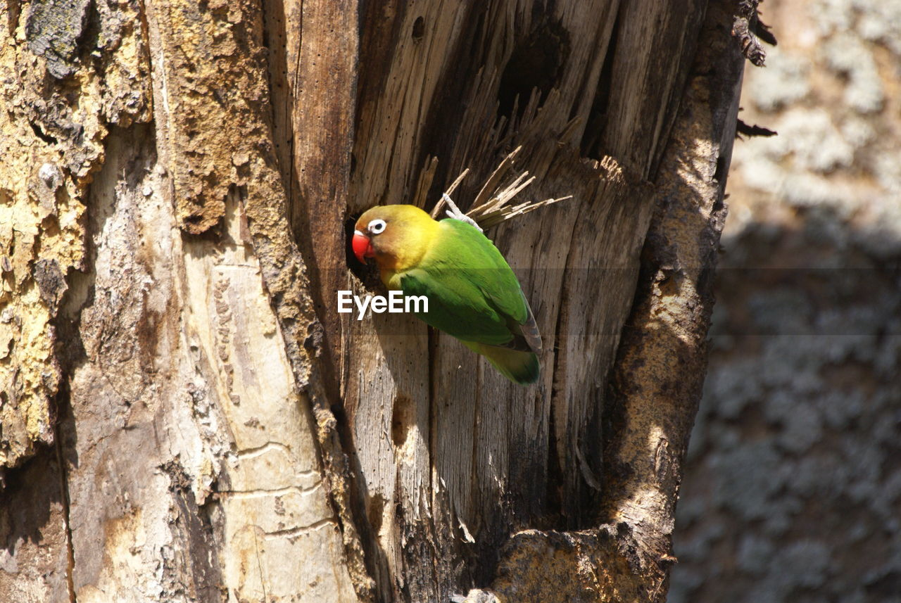 one animal, animals in the wild, animal themes, bird, perching, tree trunk, animal wildlife, tree, focus on foreground, close-up, no people, day, parrot, nature, outdoors, beauty in nature, rainbow lorikeet