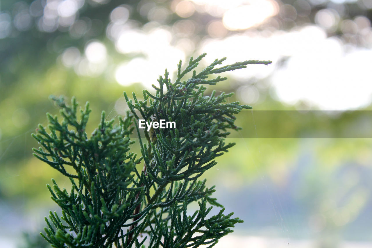 green color, plant, growth, close-up, focus on foreground, no people, tree, nature, beauty in nature, needle - plant part, selective focus, day, pine tree, leaf, coniferous tree, branch, plant part, tranquility, outdoors, fir tree