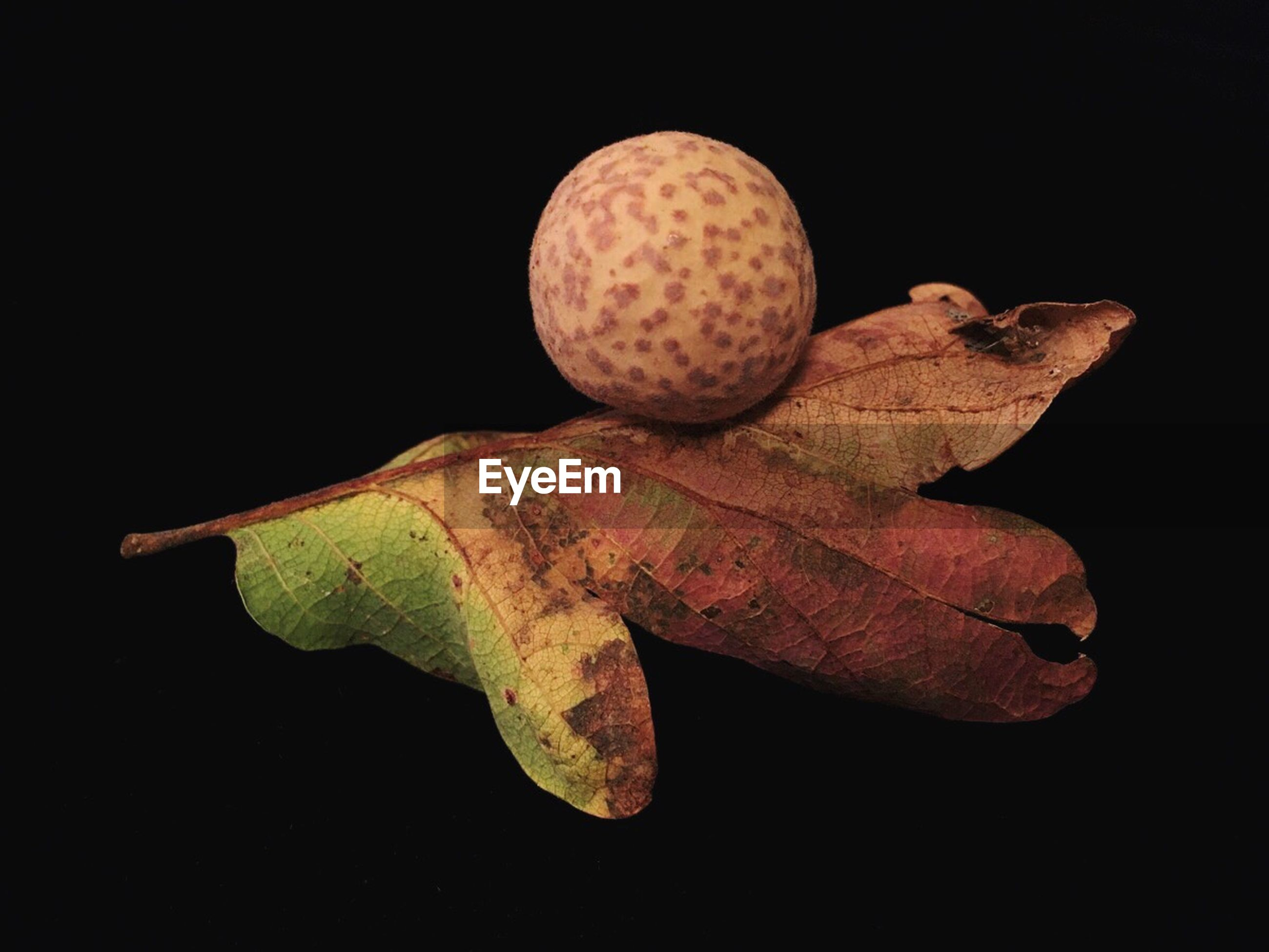Close-up of oak gall and leaf against black background