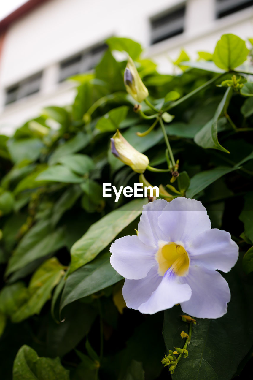 flowering plant, plant, flower, freshness, fragility, beauty in nature, vulnerability, petal, close-up, growth, flower head, inflorescence, nature, plant part, leaf, focus on foreground, green color, no people, white color, day, outdoors